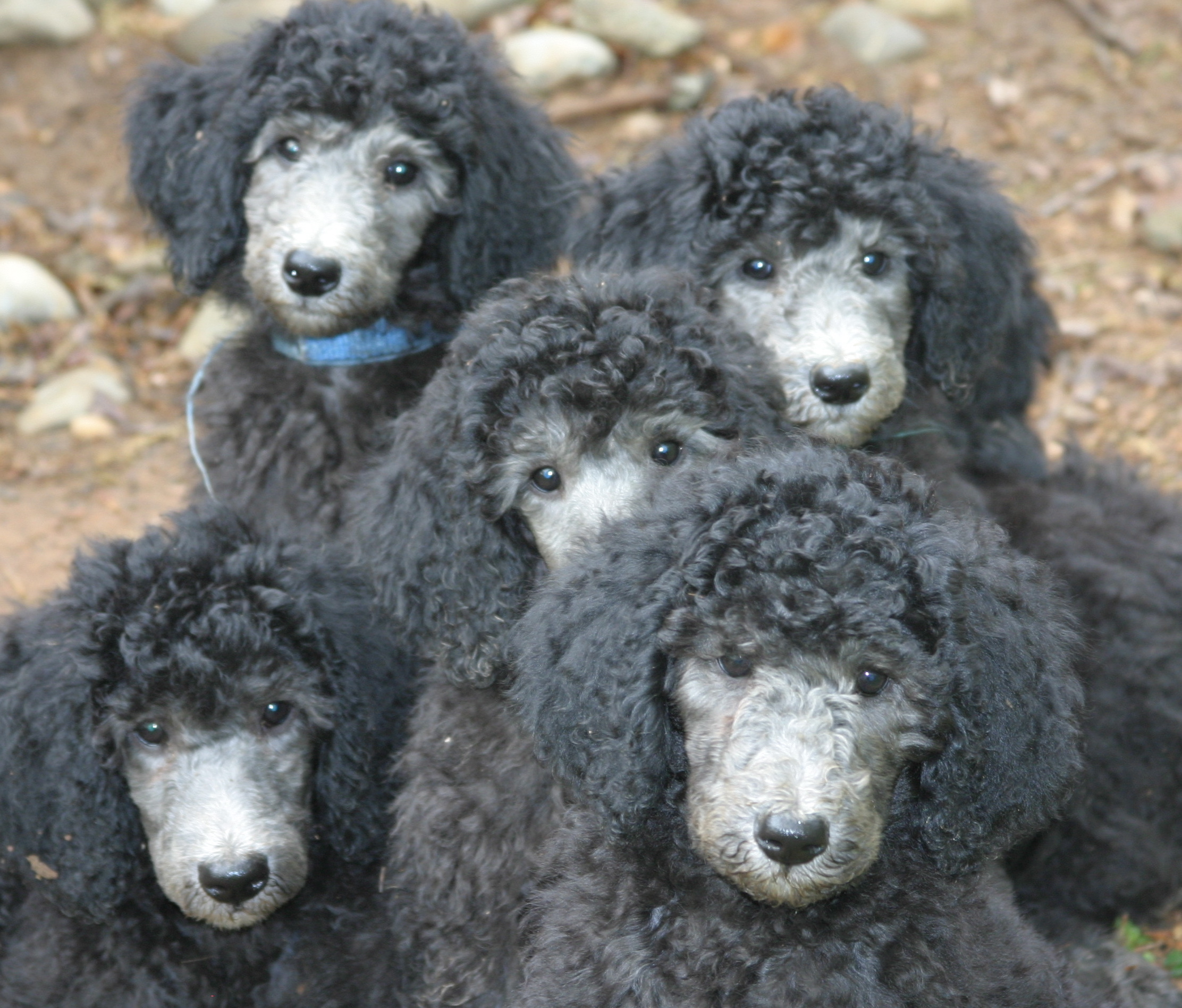 Standard Poodles of Clifton Virginia